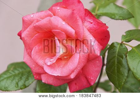 The pink flower of the rose with the dewdrops on its petals close up