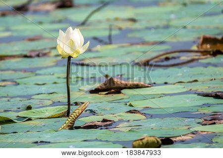 White flower of lotus or Nelumbo nucifera in Thailand, Asia