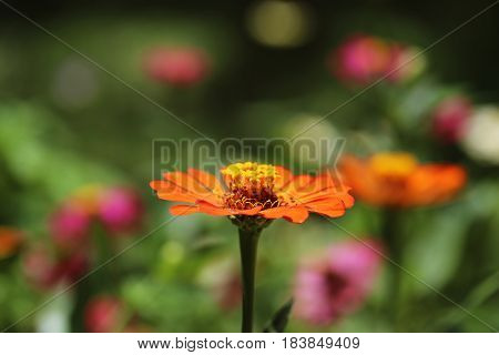 Zinnia flower closeup blur background. Blooming flower closeup