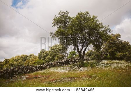 Spring background. Spring landscape in Extremadura.  Meadows in spring. Colorful spring landscape. Flowers and tress in the countryside. Oak tree in spring.