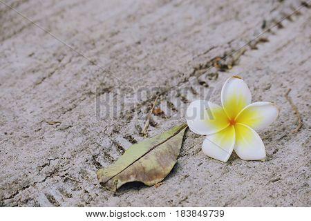 Plumeria flowers falling on floor closeup background. Flower falling ground background