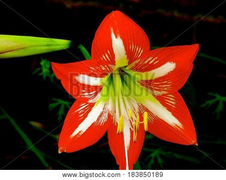 FLOWER, Beautiful Minerva Amaryllis, First Bloom in late spring.