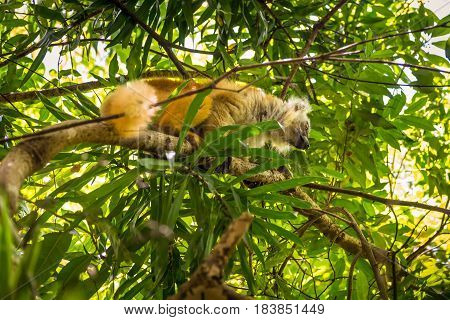 Lemur in their natural habitat Lokobe Strict Nature Reserve in Nosy Be Madagascar Africa