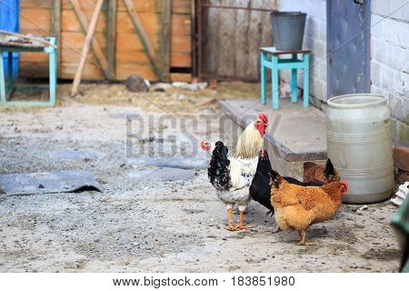 Homemade Village Hens Walk Freely Through The Metochion