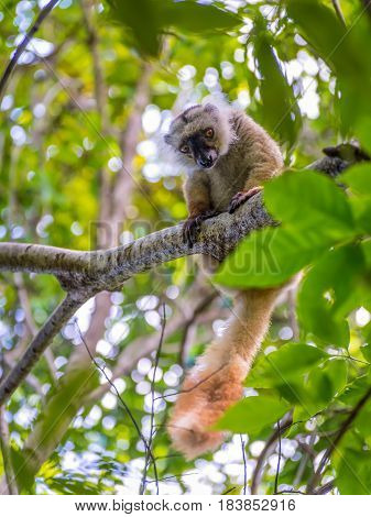 Close up portrait of lemur gaze on Lokobe Strict Nature Reserve in Nosy Be Madagascar Africa