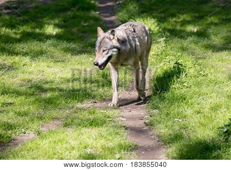 European wolf goes down the path in the forest.. Europaeischer Wolf Canis lupus wolf.