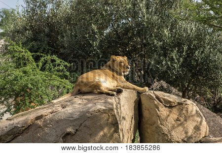 Female lioness alone Sitting on a Rock