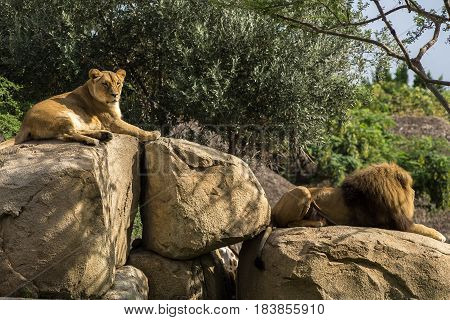 Male Lion old specimens with abundant mane, and Female lioness Sitting on a Rock
