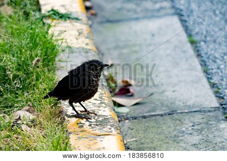 A black bird on the footpath waiting for a friend waiting for a friend