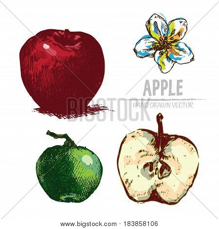 Digital vector color detailed apple hand drawn retro illustration collection set. Thin artistic linear pencil outline. Vintage ink flat style, engraved simple doodle sketches. Isolated objects