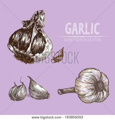 Digital vector color detailed garlic hand drawn retro illustration collection set. Thin artistic linear pencil outline. Vintage ink flat style, engraved simple doodle sketches. Isolated objects