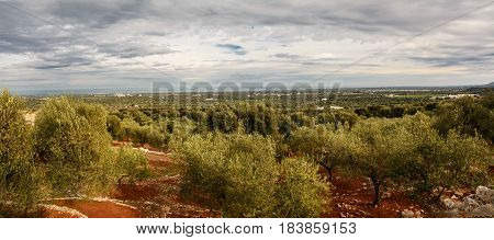 Valley of secular olive trees in Fasano (Italy)