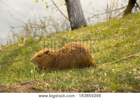 Large Adult Red-haired Nutria
