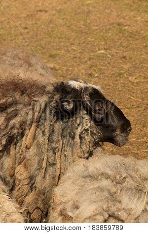 Dlack Sheep