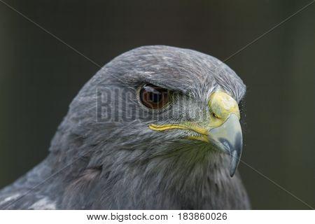 photo portrait of an alert looking Grey Falcon