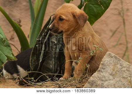 photo of a pair of Indian feral puppies