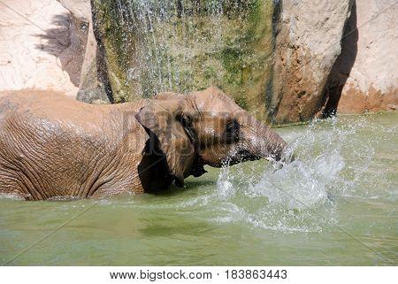 Elephant bathing and splashing with the horn portrayed of profile