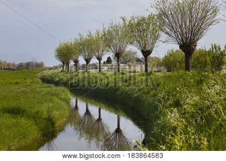 Pollarded willow trees near the water in Holland