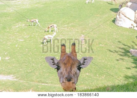 Face of giraffe in the first plane with gazelles of bottom