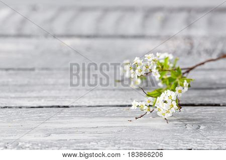 White spirea gray on wood background. selective focus.
