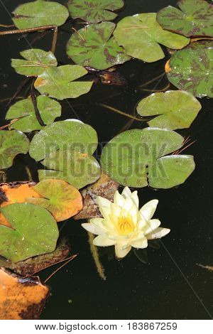 White waterlily flower with yellow pistils. Scientific name: Nymphaea Alba
