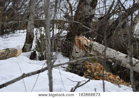 Birch tree cut down on the snow by beaver picture from the North of Sweden.