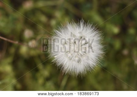 Close-up of a flower ball (Tragopogon pratensis) standing in a green meadow picture from the North of Cyprus.