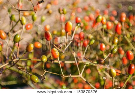 Macro closeup of bittersweet nightshade berries that are orange green and red
