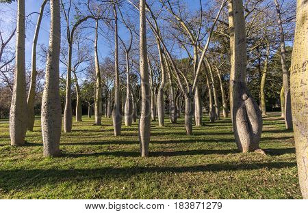 Beautiful landscape of Old dry riverbed of the River Turia gardens, Jardin del Turia, leisure and sport area in Valencia, Spain, plenty of trees of the variety Ceiba