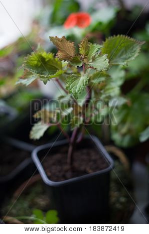 Coleus home plant in a black pot