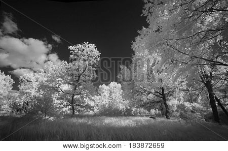 Landscape in infrared light. Beautiful unusual tree species in summer in Russia.