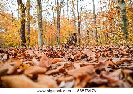 Macro closeup of fallen brown autumn leaves in golden forest