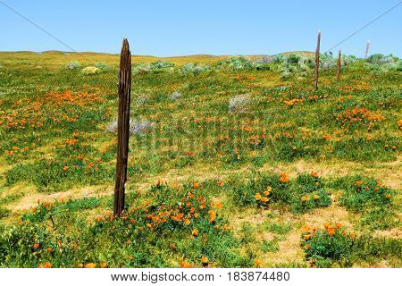 Collapsing rustic wooden fence at a rural field with Poppy Flowers taken on a forgotten prairie landscape during spring