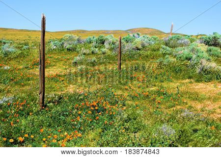 Forgotten landscape with an abandoned ranchland rustic wooden fence surrounded by grasslands and poppy flowers taken at a prairie in Central California