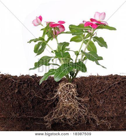 kombinierbar mit Blumen und sichtbare Wurzel, isolated on white