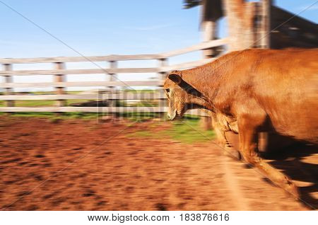 Ox Jumping Out Of The Corral