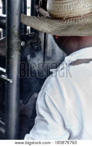 MATO GROSSO DO SUL BRAZIL - APRIL 19 2017: Man using a hot iron numeric stamp to mark and branding the cattle in a farm of brazil.