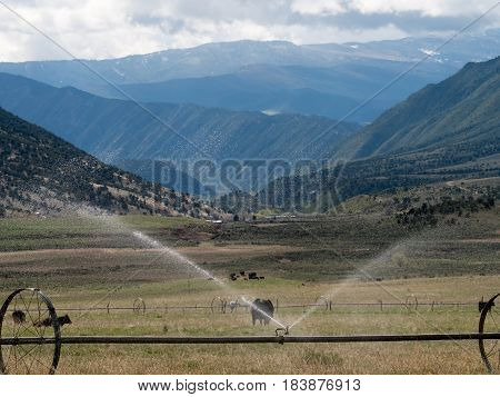 Pastoral scene including cows, distant mountains, sprinklers