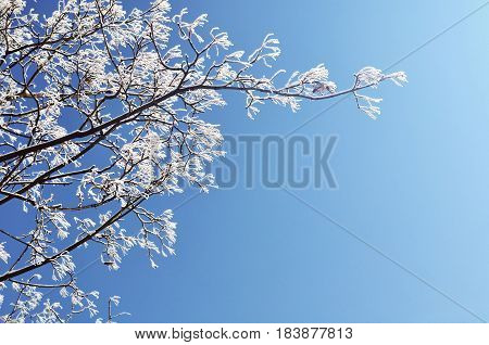 Winter frosty tree branches of the winter tree against blue sunny sky.Winter background with free space for text.Closeup view of winter nature.Winter tree branch in sunny winter weather. Winter natural view.