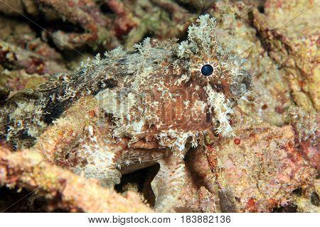 Banded Toadfish (Halophryne diemensis). Dampier Strait Raja Ampat Indonesia