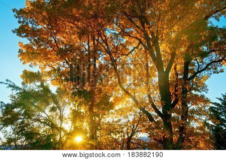Oak trees basking in the autumn rays of the setting sun.