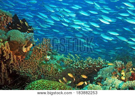 Schooling Fusiliers over a Colorful Coral Reef. Gam Raja Ampat Indonesia