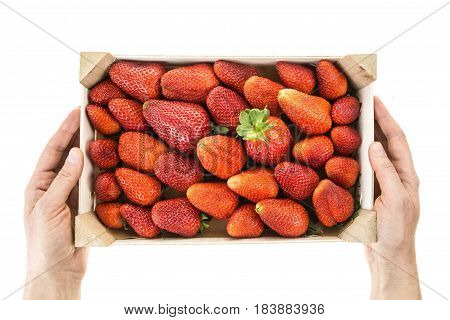 Hands Holding Red Ripe Strawberries In Wooden Box, Isolated On White Background.