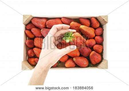 Hand Picking/placing Red Ripe Strawberry From A Wooden Box, Isolated On White Background.