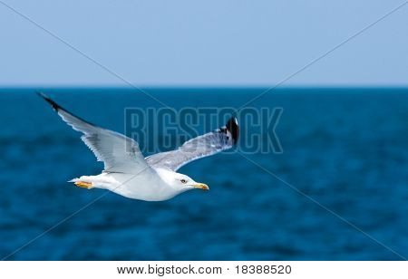 Freedom. Blue sky, ocean and flying seagull