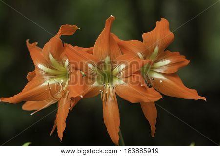 Barbados Lily, Hipperastrum striatum blooming on pipiwai Trail, Maui, Hawaii, USA