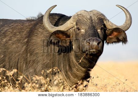 An African buffalo chews grass on the Kenyan savannah