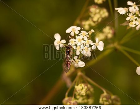 A Fly With Wings And Head And Body In Close Detail Macro Eating Cow Parsley Flower Heads