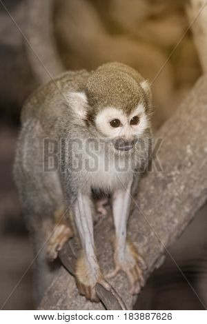 Amazing family of squirrel monkeys with a baby breastfeeding on it's mom's belly on tree.