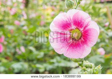 The pink flower of hollyhock in park